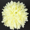 Chrysanthemum W571